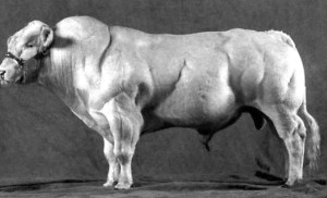 遺伝子操作で筋量の増えた牛