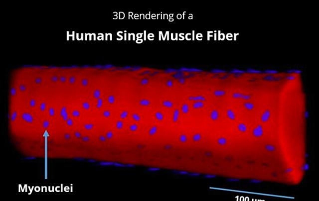 筋核の多い筋肉