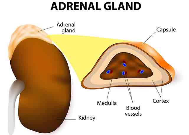 副腎と副腎皮質