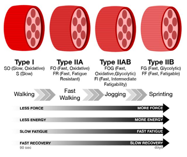速筋線維の種類