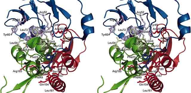 インスリン様成長因子の構造