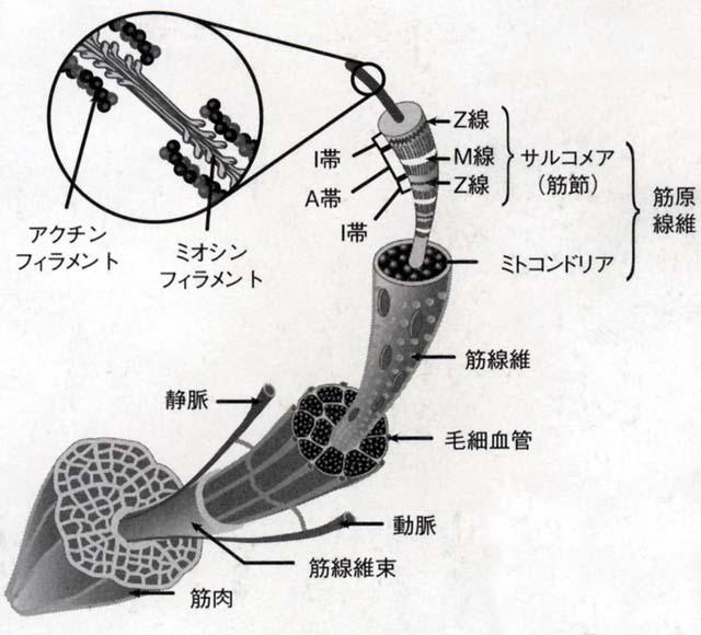 筋原線維レベルでの筋肉の構造